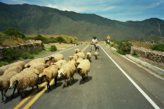 Peru Arequipa Colca Canyon sheeps