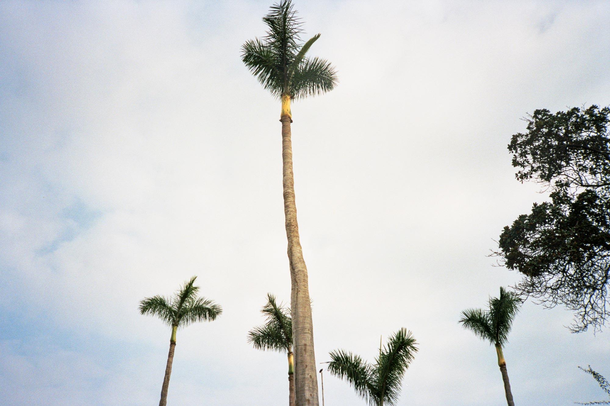 Peru Lima Costa Verde palms