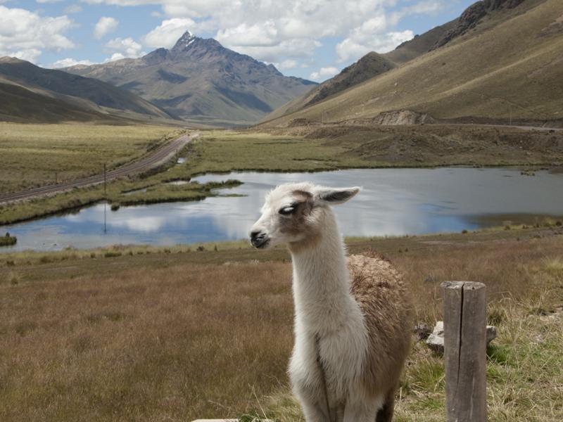 Peru Puno Cusco raya llama
