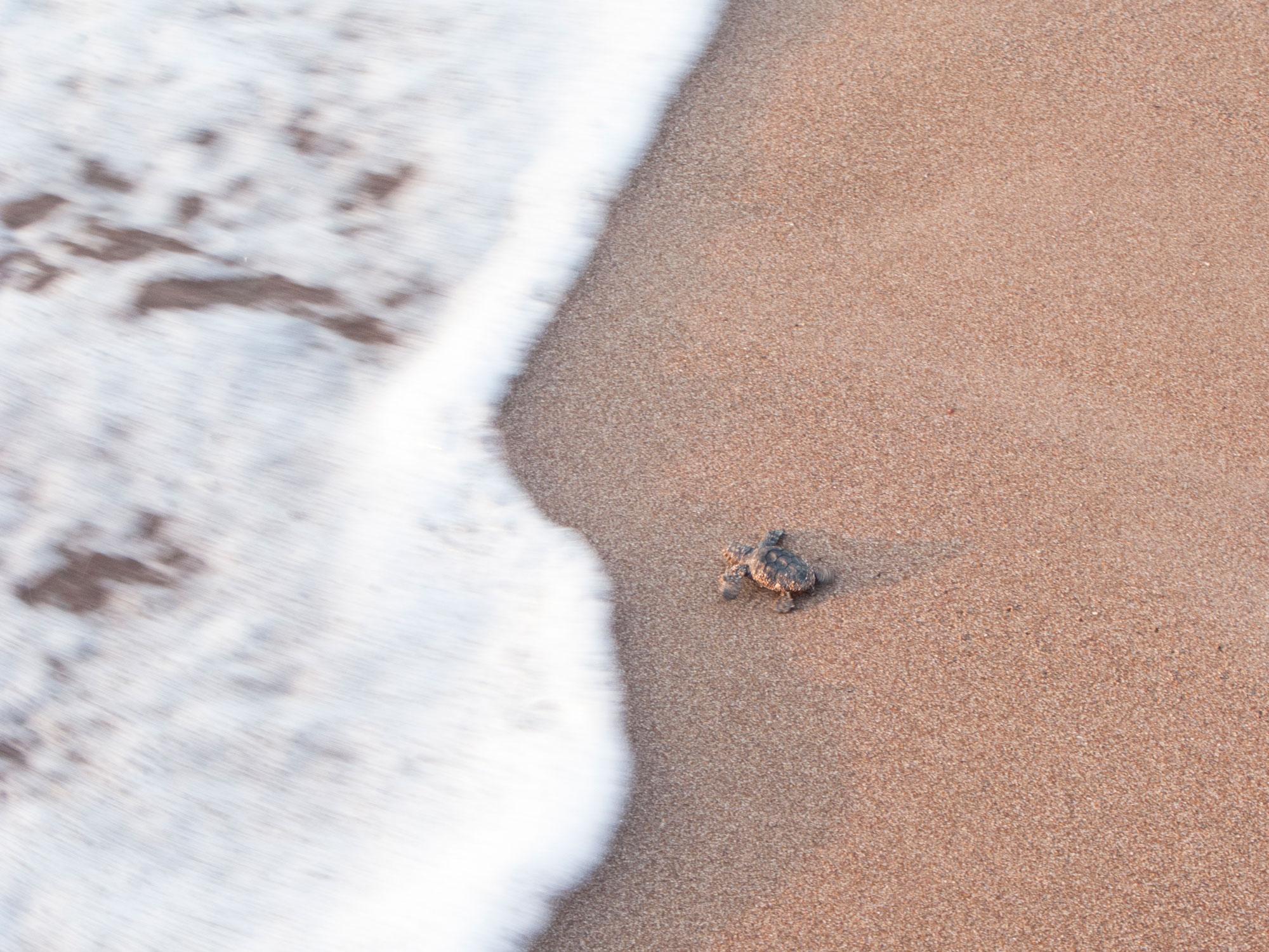 Turkey Cirali Caretta caretta turtle