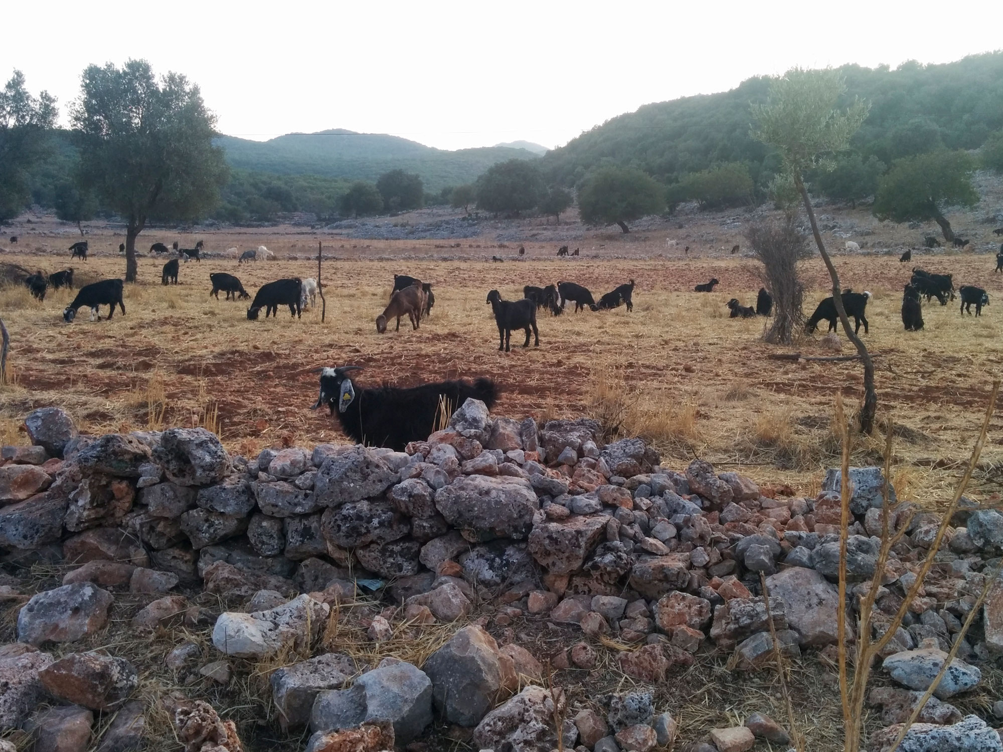 Turkey ucagiz road sheeps