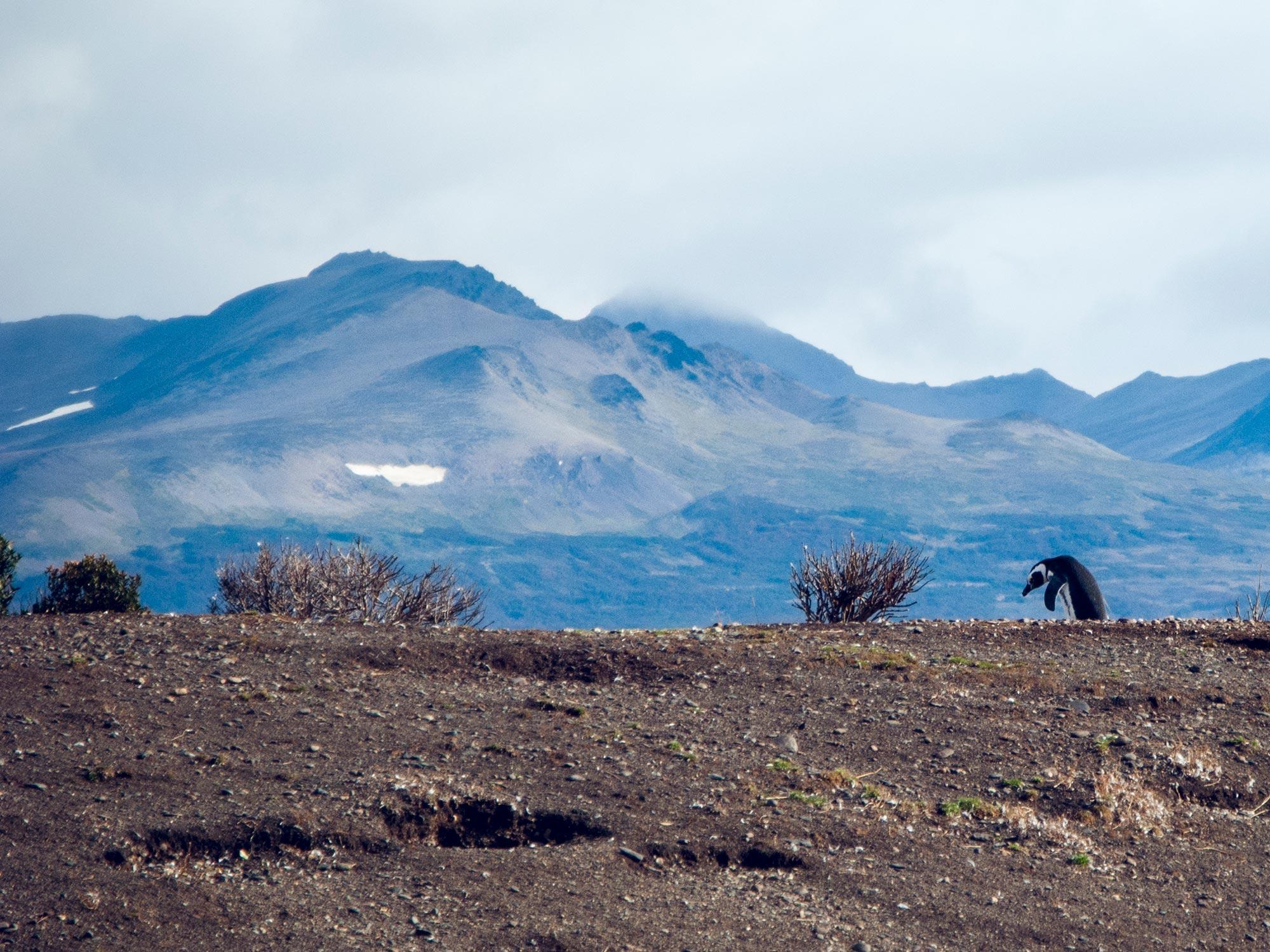 Argentin Ushuaia Beagle Channel ferry isla martillo lonely penguin