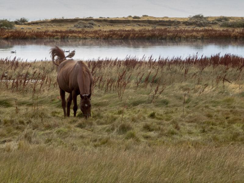 Argentina Patagonia Calafate Laguna Nimez horse bird