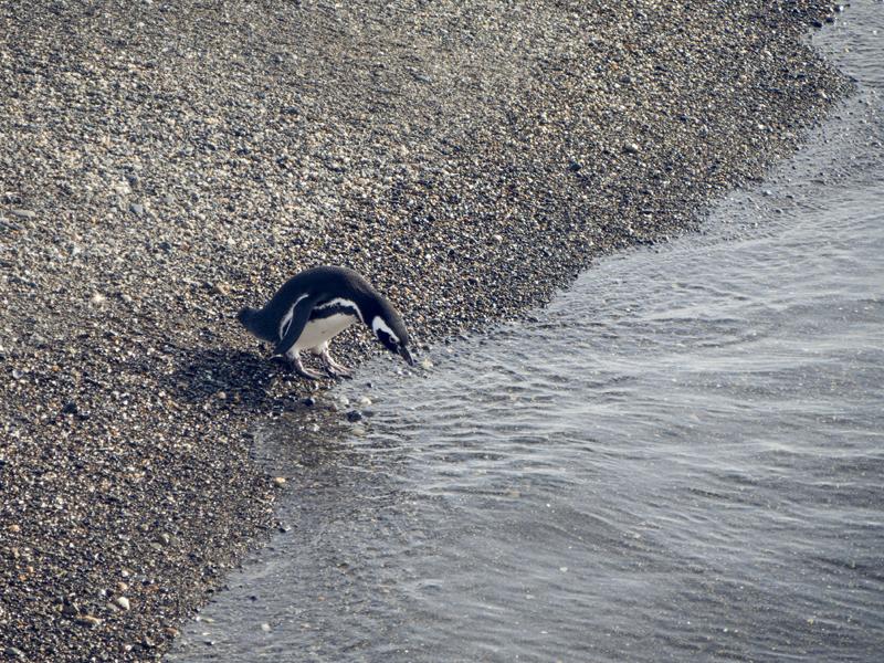 penguin drinking