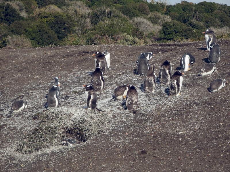 Argentina ushuaia beagle channel ferry isla martillo pinguinera penguins