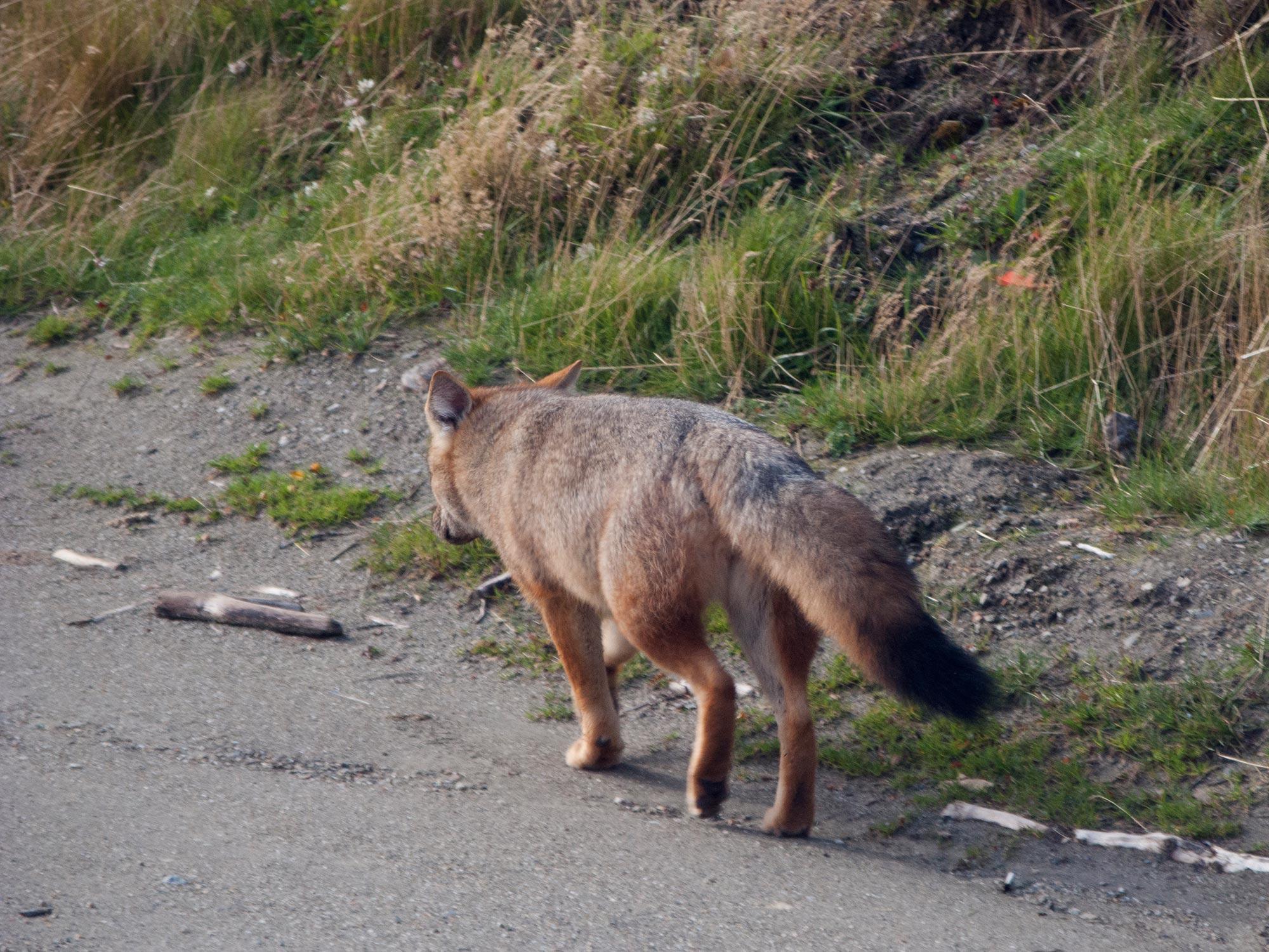 Argentina ushuaia national park tierra del fuego fox