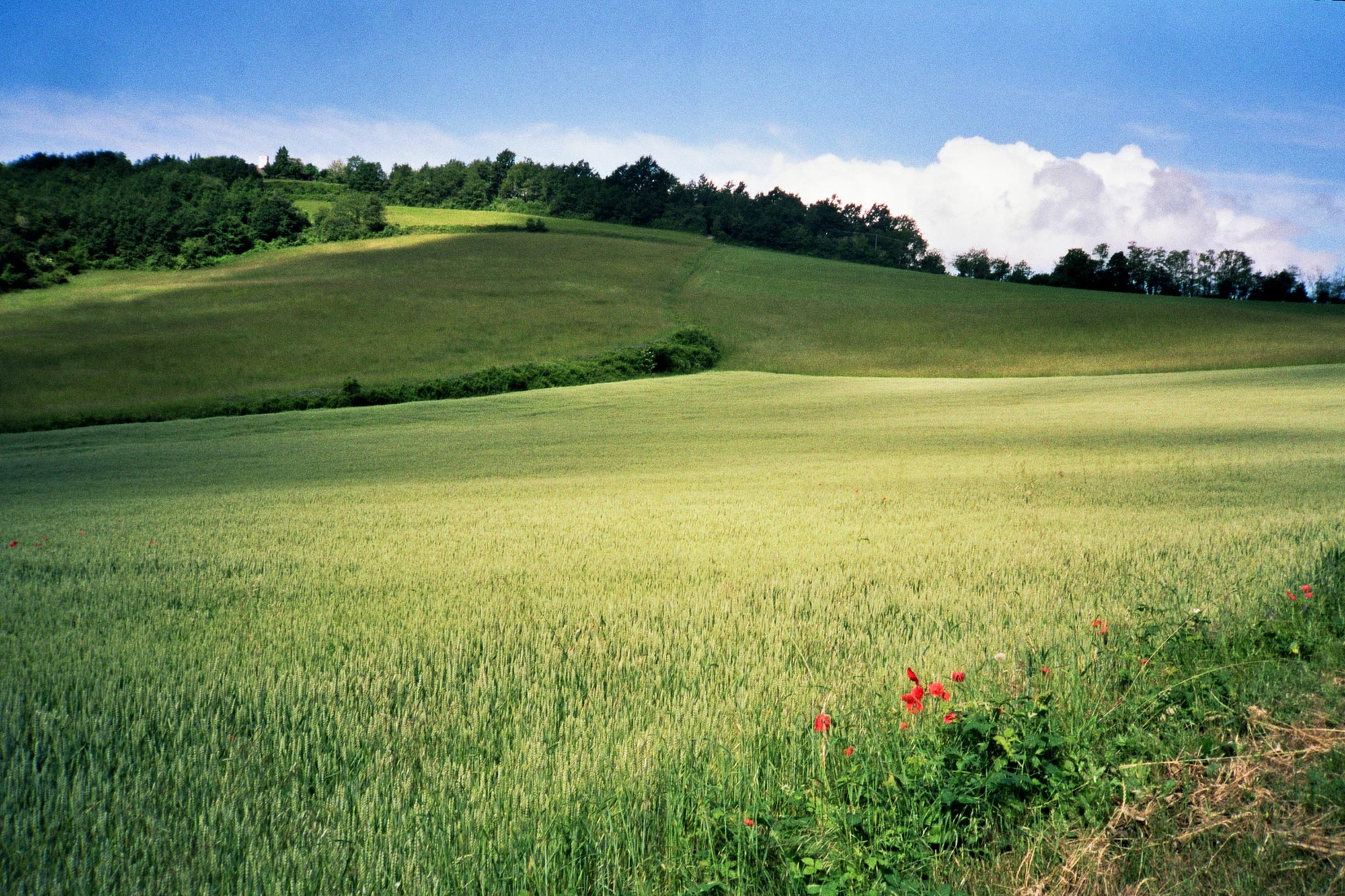 Piacenza Veano Fields green red poppy flowers papaveri