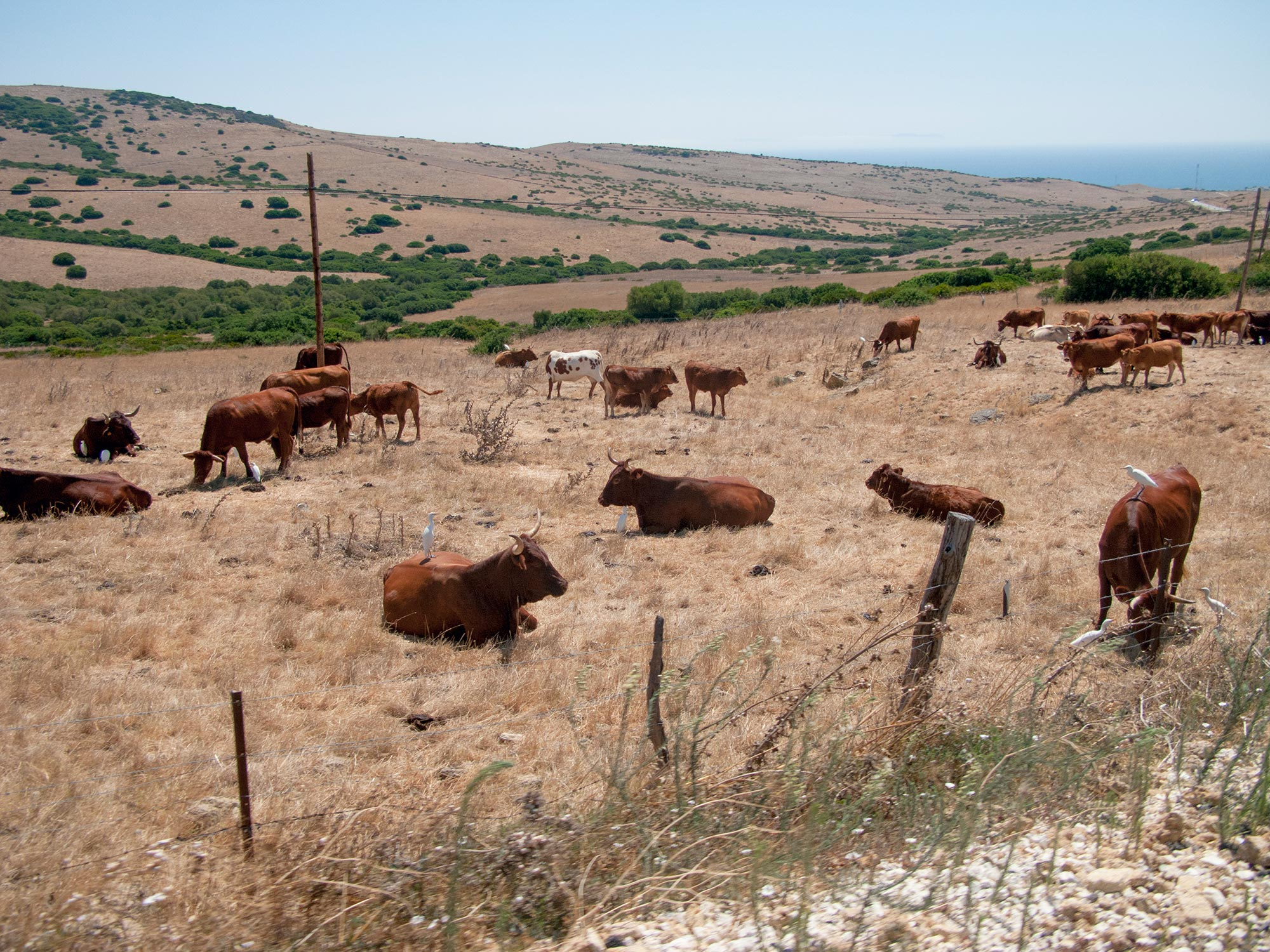 Andalusia bulls on the road