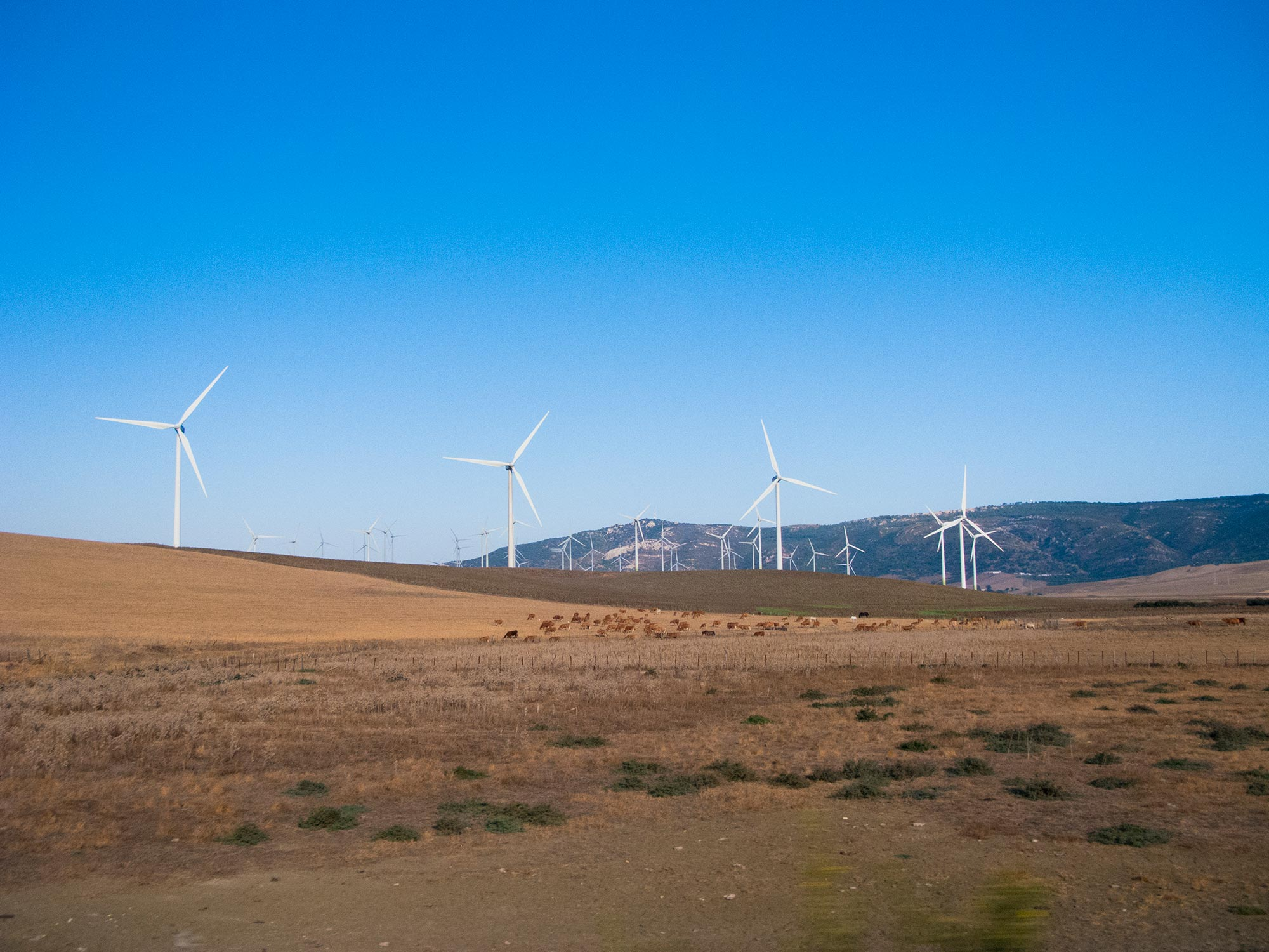 Andalusia Windmills bulls