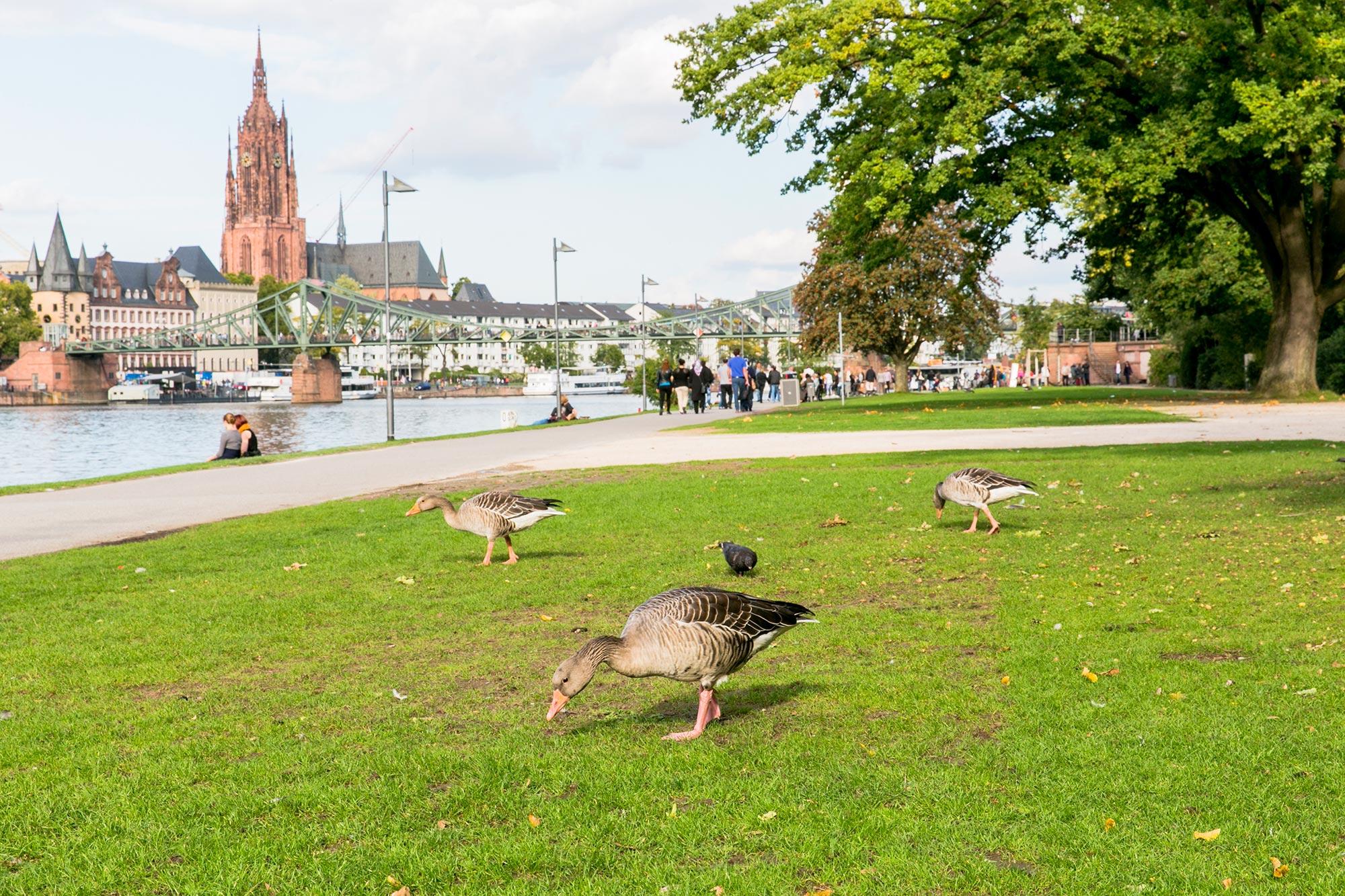 main river banks ducks frankfurt