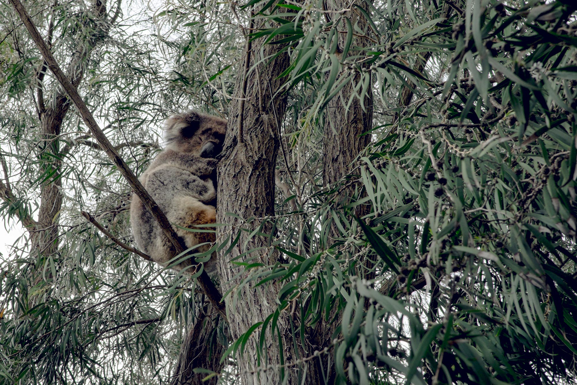 australia-melbourne-great-ocean-road-kennet-river-holiday-park-koala2